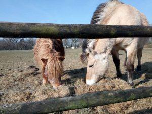 De paarden hooi geven en borstelen