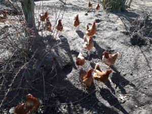 De kippen voeren