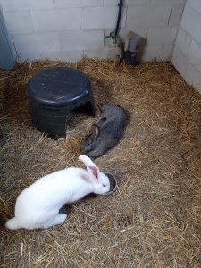 De konijnen verzorgen