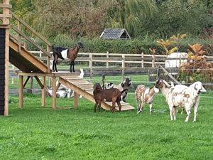 De geiten verzorgen